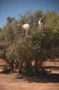 アルガンの樹に上るヤギたち