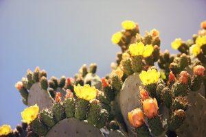 ウチワサボテンの実と花