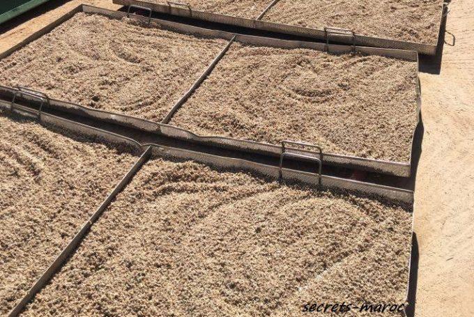 直射日光の下で乾燥されるサボテンの種