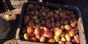 収獲された赤く熟したサボテンの実