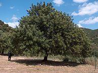 キャロブツリー