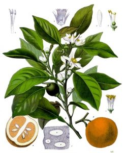 neroliの実と花