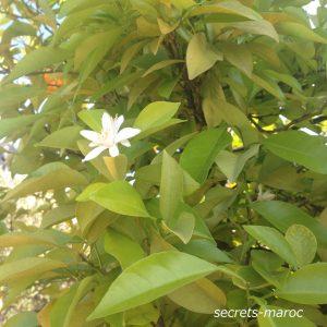 英語でビターオレンジの花の精油をネロリといいます。