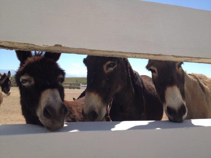 donkeys at jarjeer