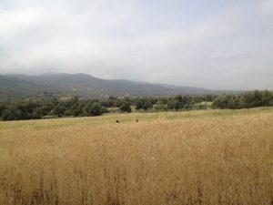 小麦畑を走る子供たち