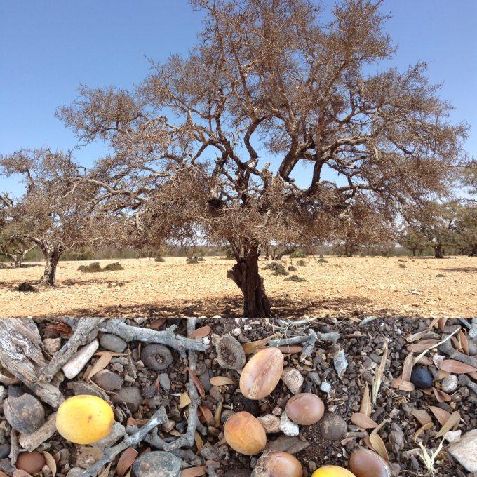 アルガンの樹とアルガンの実、種