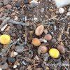 アルガンの実の収穫時期は6、7月。樹になっているアルガンの実の貴重な写真が偶然とれました!