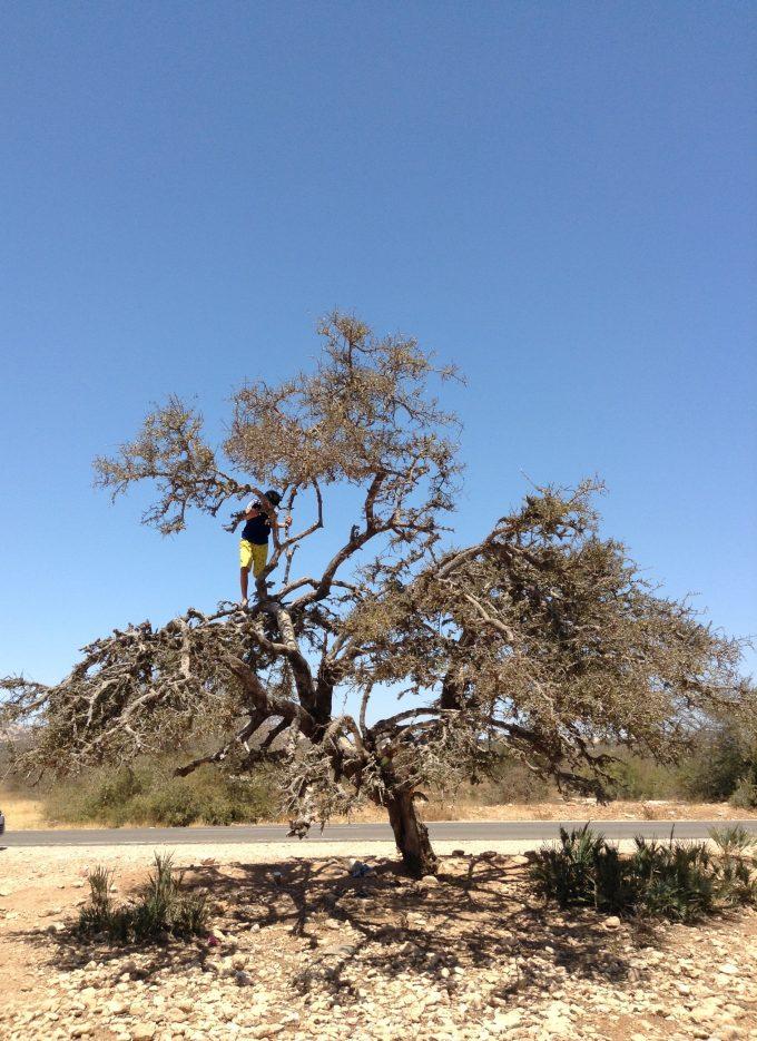 アガディール近郊のアルガンの樹が広がるところで小休憩、息子が登る、アルガン、実は保護区内だった…。